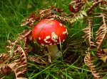 young fly agaric