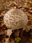 shaggy parasol - poisonous to some