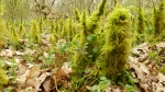 a miniature rain forest of mossy saplings
