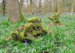 mossy tree stumps