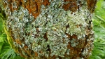 lichens on oak