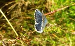 Polyommatus_icarus