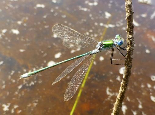 male emerald